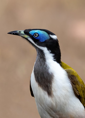 Blue-faced Honeyeater (Entomyzon cyanotis) - Mareeba, Queensland
