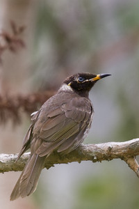 Bridled Honeyeater (Lichenostomus frenatus) - Mount Molloy, Queensland