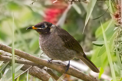 Bridled Honeyeater (Lichenostomus frenatus) - Atherton, Queensland