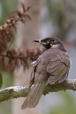Bridled Honeyeater (Bolemoreus frenatus) - Mount Molloy, Queensland