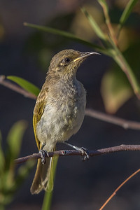 Brown Honeyeater (Lichmera indistincta) - Burra, Queensland