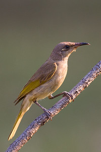 Brown Honeyeater (Lichmera indistincta) - Holmes Jungle Nature Park (Darwin), Northern Territory