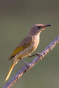 Brown Honeyeater (Lichmera indistincta) - Holmes Jungle Nature Park (Darwin), Northern Territory