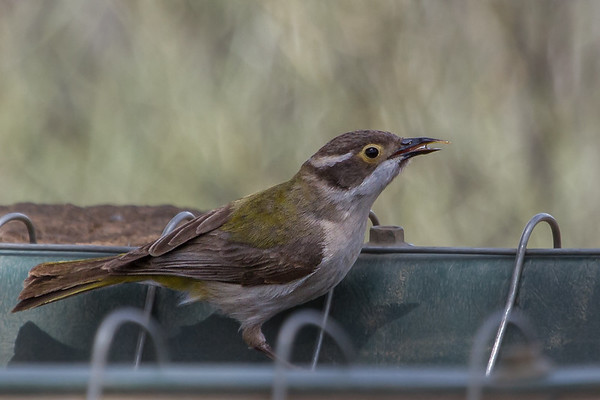 Brown-headed Honeyeater (Melithreptus brevirostris) - Gluepot, South Australia
