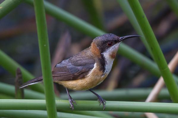 Eastern Spinebill (Acanthorhynchus tenuirostris) - Clarkesdale, Victoria