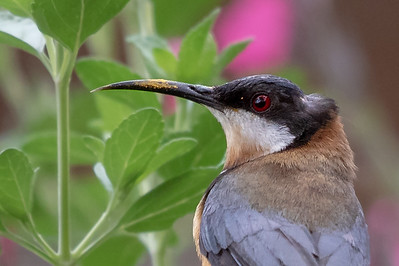 Eastern Spinebill (Acanthorhynchus tenuirostris) - Chum Creek, Victoria