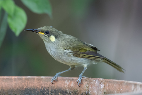 Graceful Honeyeater (Meliphaga gracilis) - Merluna Station (Cape York),  Queensland