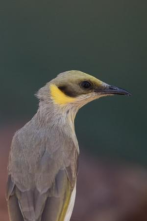 Grey-fronted Honeyeater (Ptilotula plumula) - Goanna Creek Rest Area, Northern Territory