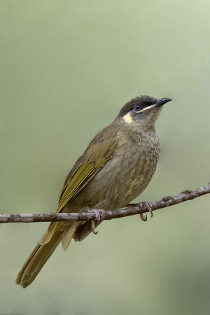Lewin's Honeyeater (Meliphaga Lewinii) - Capertee Valley, New South Wales