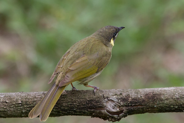 Lewin's Honeyeater (Meliphaga Lewinii) -  Lockyer Valley, Queensland