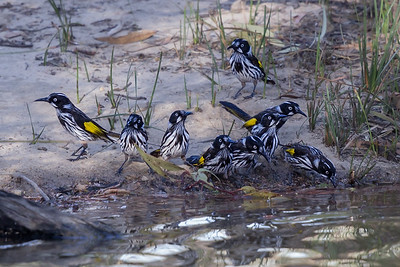 New Holland Honeyeater (Phylidonyris novaehollandiae) - Little Desert, Victoria