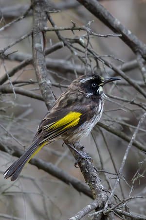 New Holland Honeyeater (Phylidonyris novaehollandiae) - Clarkesdale, Victoria