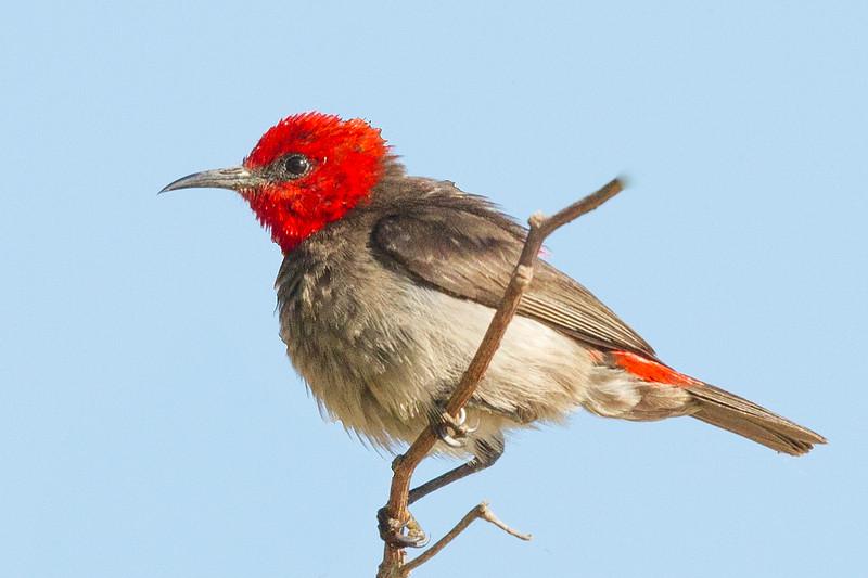 Red-headed Honeyeater (Myzomela erythrocephala) - Buffalo Creek (Darwin), Norhern Territory