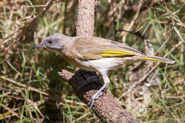 Rufous-banded Honeyeater (Conopophila albogularis) - Anbangbang Billabong (Kakadu), Northern Territory