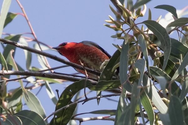 Scarlet Honeyeater (Myzomela sanguinolenta) - Ipswich, Queensland