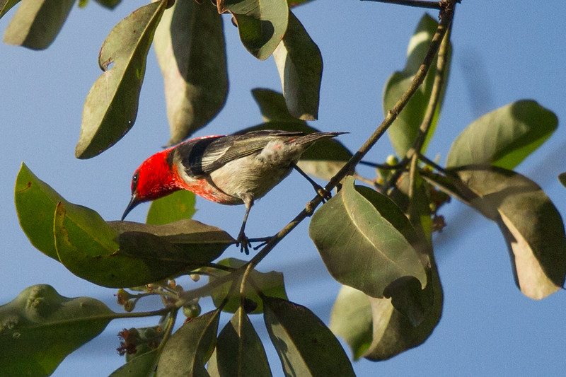 Scarlet Honeyeater (Myzomela sanguinolenta) - Murray Falls, Queensland