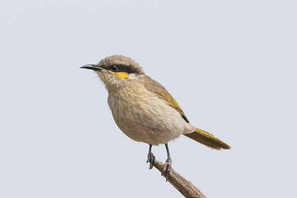 Singing Honeyeater (Gavicalis virescens) - Australian Arid Lands Botanic Gardens (Port Augusta), South Australia