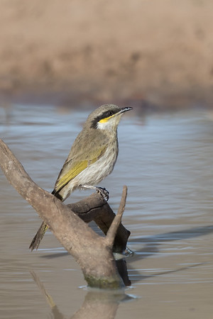 Singing Honeyeater (Gavicalis virescens) - Cunnumulla, Queensland
