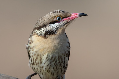Spiny-cheeked Honeyeater (Acanthagenys rufogularis) - Gluepot, South Australia