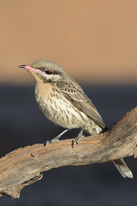 Spiny-cheeked Honeyeater (Acanthagenys rufogularis) - Cunnumulla, Queensland