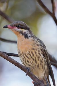 Spiny-cheeked Honeyeater (Acanthagenys rufogularis) - Jilah Rockhole, Western Australia