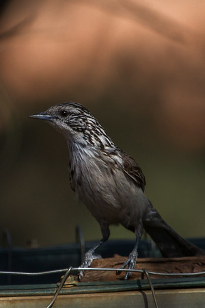 Striped Honeyeater (Plectorhyncha lanceolata) - Gluepot, South Australia