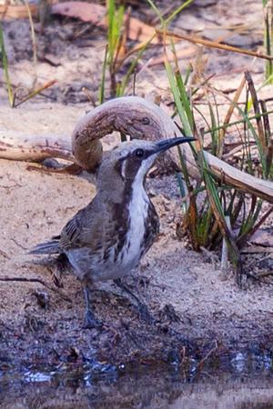 Tawny-crowned Honeyeater (Gliciphila melanops) Big M Waterhole (Little Desert), Victoria