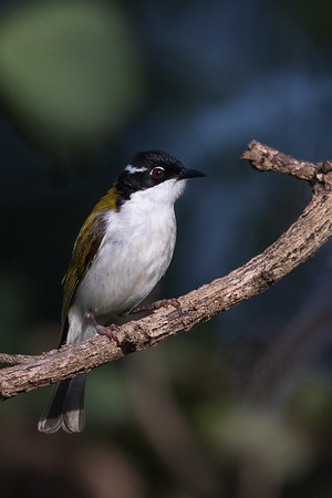 White-throated Honeyeater (Melithreptus albogularis) - Merluna Station (Cape York), Queensland