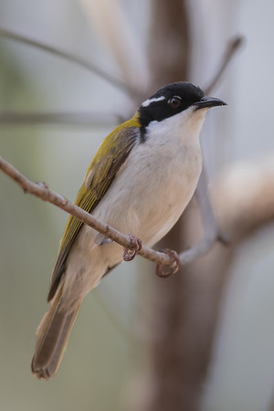 White-throated Honeyeater (Melithreptus albogularis) - Laura, Queensland