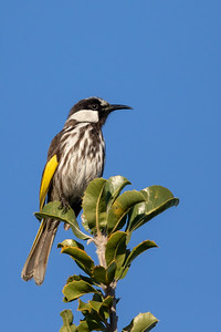 White-cheeked Honeyeater (Phylidonyris niger) - Herron Point, Western Australia