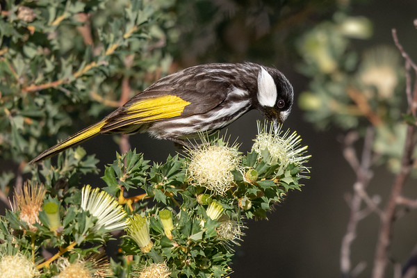 White-cheeked Honeyeater (Phylidonyris niger) - Wireless Hill Park (Perth), Western Australia