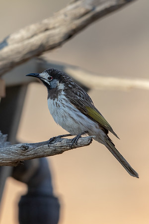 White-fronted Honeyeater (Purnella albifrons) - Gluepot, South Australia