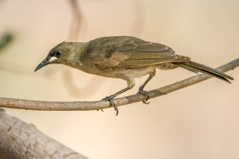White-gaped Honeyeater (Stomiopera unicolor) - Edith Falls, Northern Territory