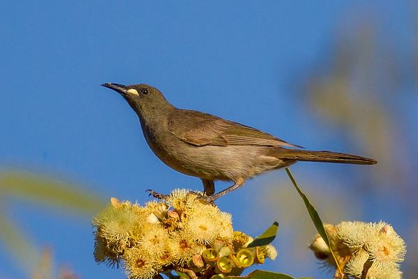 White-gaped Honeyeater (Stomiopera unicolor) - Gregory Downs, Queensland