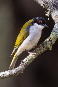 White-naped Honeyeater (Melithreptus lunatus) - Clarkesdale, Victoria