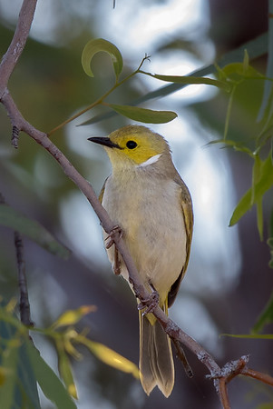 White-plumed Honeyeater (Ptilotula penicillata) - Long Waterhole (Winton), Queensland