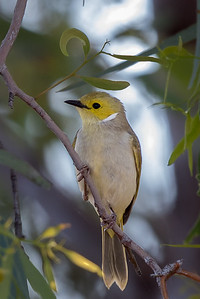 White-plumed Honeyeater (Lichenostomus penicillatus) - Long Waterhole (Winton), Queensland