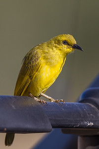 Yellow Honeyeater (Lichenostomus flavus) - Cumberland Dam (Georgetown), Queensland