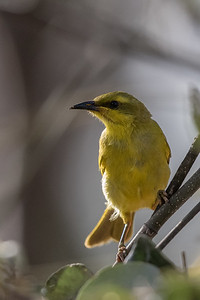 Yellow Honeyeater (Stomiopera flava) - Laura, Queensland