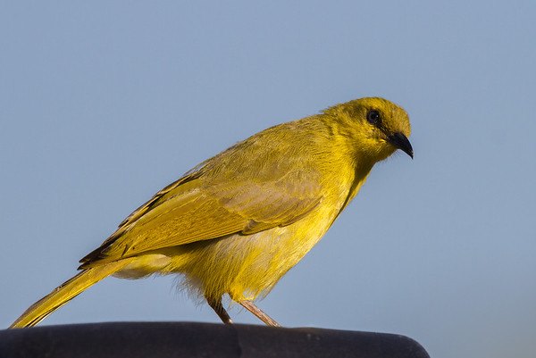 Yellow Honeyeater (Stomiopera flava) - Cumberland Dam (Georgetown), Queensland