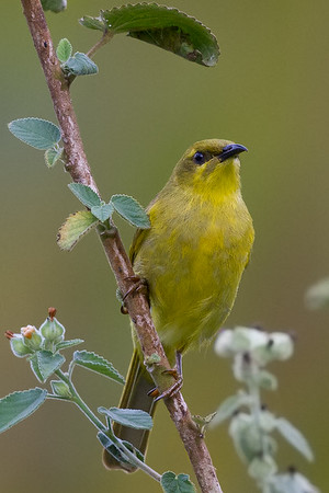 Yellow Honeyeater (Stomiopera flava) - Tyto Wetlands (Ingham), Queensland