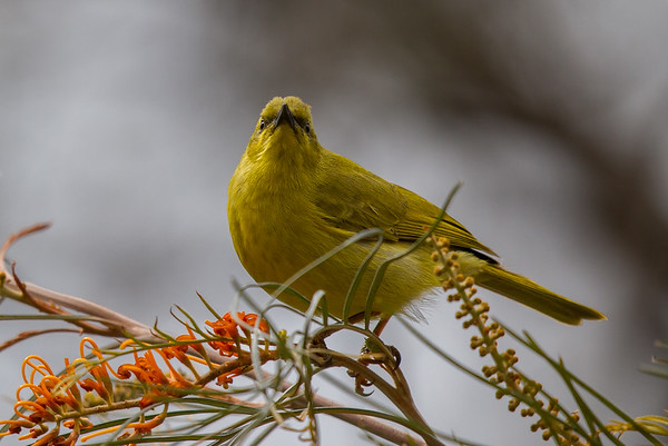 Yellow Honeyeater (Stomiopera flava) - Mount Molloy, Queensland