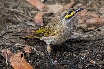 Yellow-faced Honeyeater (Lichenostomus chrysops) - Clarkesdale, Victoria
