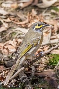 Yellow-faced Honeyeater (Caligavis chrysops) - Clarkesdale, Victoria