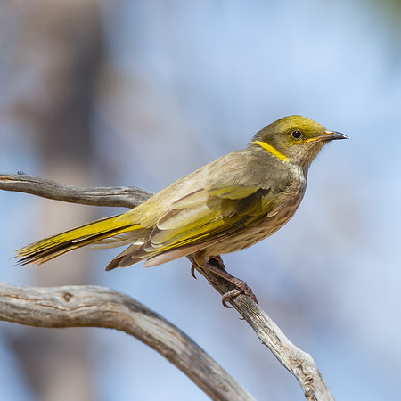 Yellow-plumed Honeyeater (Ptilotula ornata) - Lake Gilles Conservation Park, South Australia