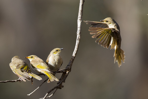 Yellow-plumed Honeyeater (Ptilotula ornata) - Kara Kara National Park, Victoria