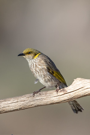 Yellow-plumed Honeyeater (Ptilotula ornata) - Gluepot, South Australia