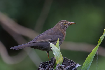 Common Blackbird (Turdus merula) - Endeavour Lodge, Norfolk Island