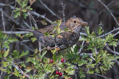 Common Blackbird (Turdus merula) - Geeveston, Tasmania