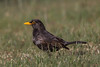 Common Blackbird - Jamieson